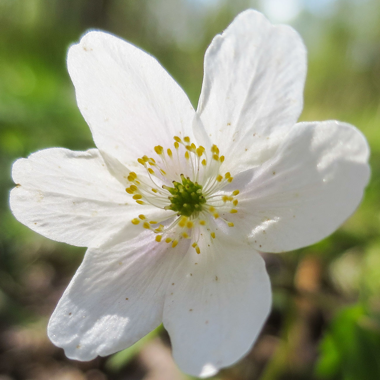 Wood Anemone Macro Flowers Forest
