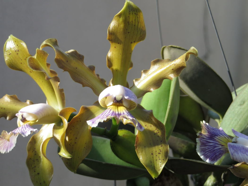 Beauty In Nature Blooming Botany Cattelya Schilleriana Close-up Flower Flower Head Focus On Foreground Fragility Freshness Green Color In Bloom Nature No People Orchids Outdoors Petal Plant Stem