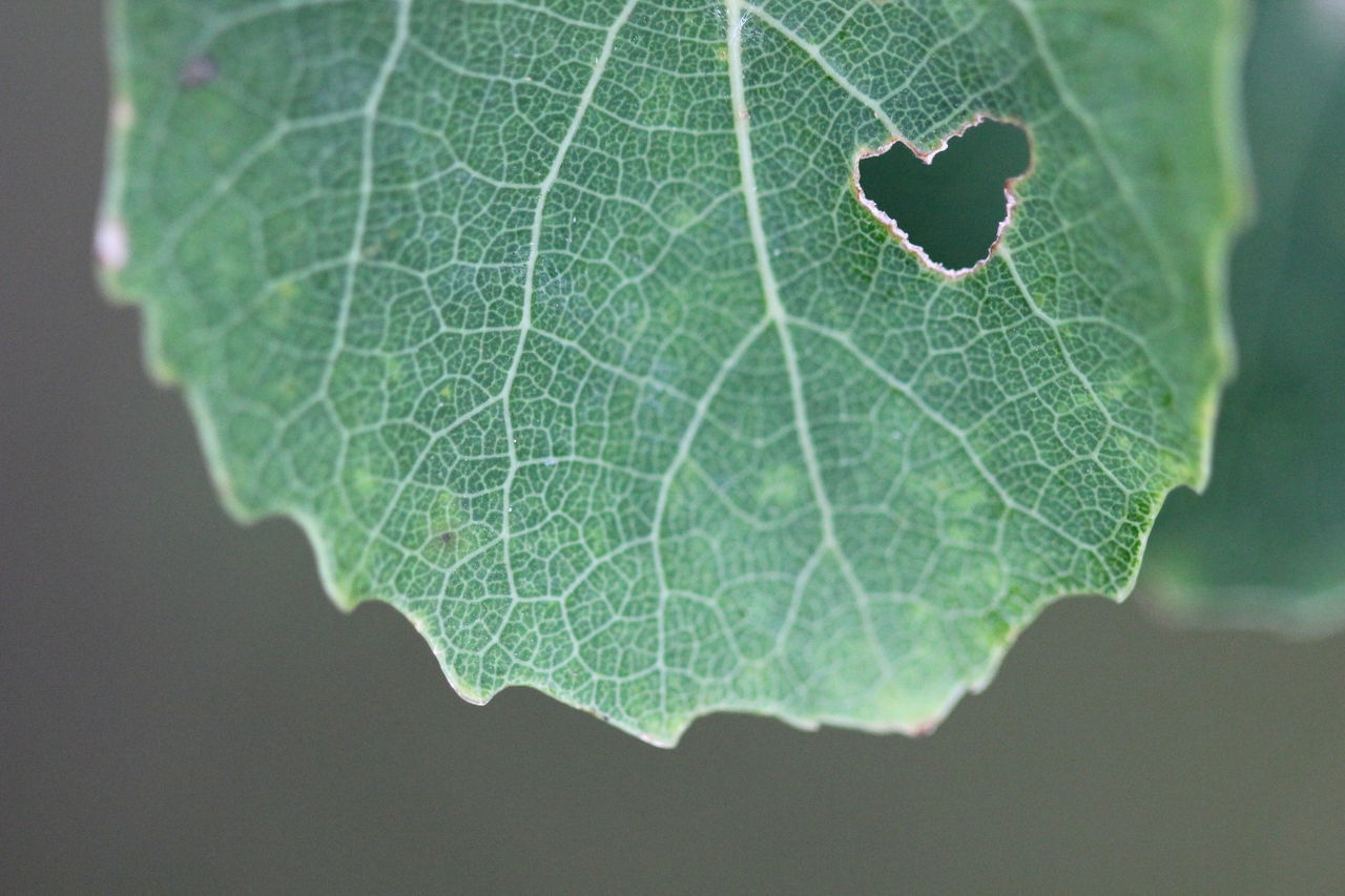 Beautiful stock photos of leaf, Close-Up, Day, Freshness, Green Color
