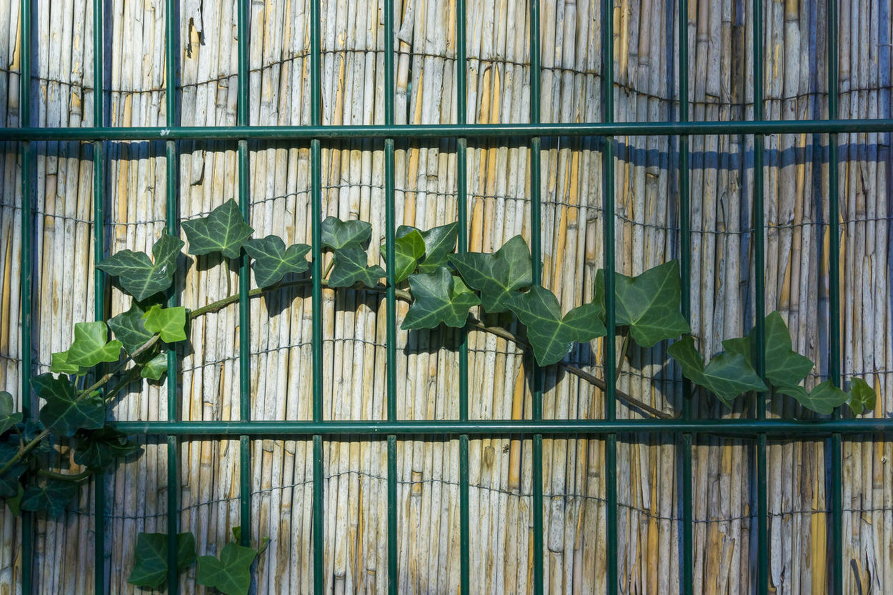 Ivy growing on fence in Berlin, Germany Architecture Berlin Built Structure Color Image Day Fence Germany Green Color Grid Growth Horizontal Ivy Leaves Metal Nature No People Outdoors Photography Plant Protection Security Bar