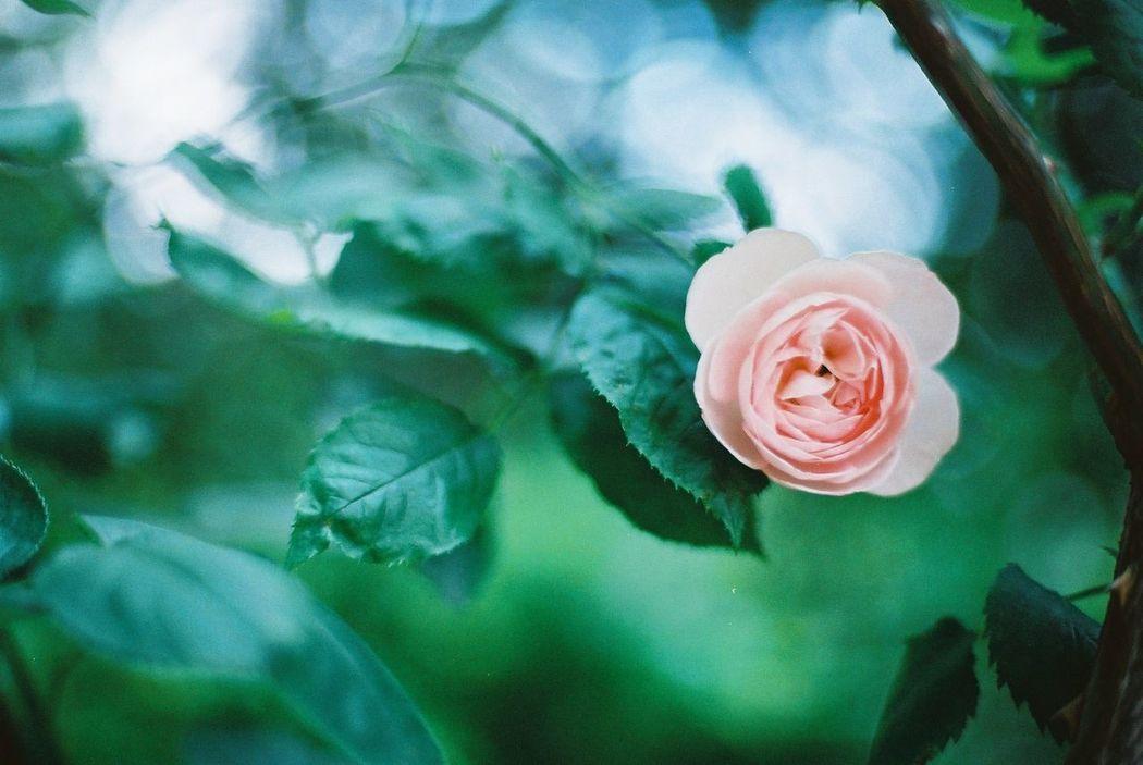 恋文 35mm Film Flower Rose Garden Filmphotography Film Camera バラ園 Nikon Nikonphotography