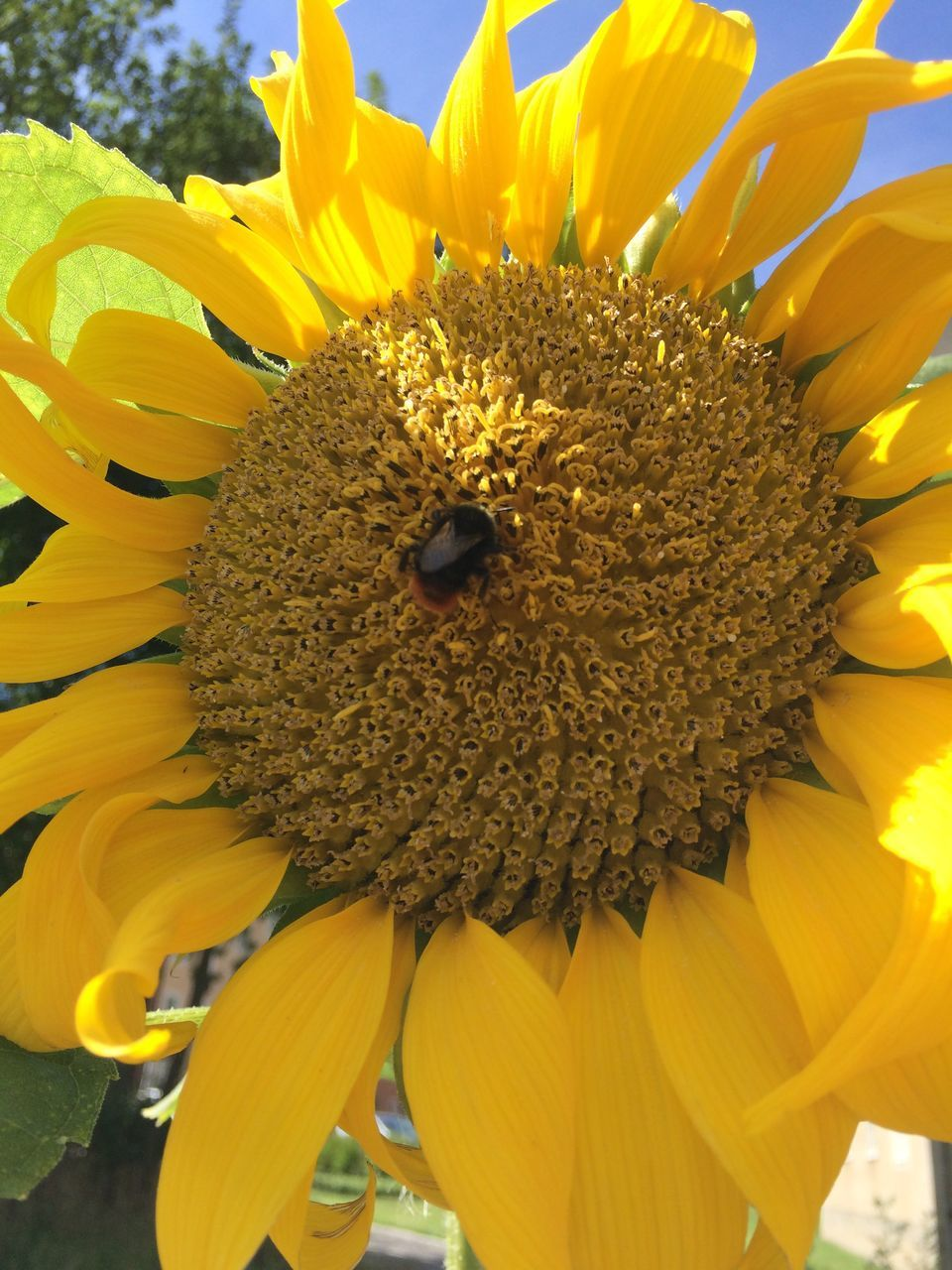 flower, yellow, petal, fragility, nature, beauty in nature, flower head, freshness, pollen, growth, animal themes, insect, one animal, close-up, animals in the wild, plant, no people, bee, day, outdoors, sunflower, animal wildlife, blooming, pollination