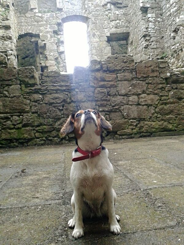 Castle Ruin Beam Of Light JeanaBear Monea Castle Winter Sun Stone Walls Left Behind To Nature King Charles X Beagle Love Dogs 😍🐶 EyeEm Mobile Photography EyeEm Nature Lover Eye4photography  Eyemphotography EyeEm Animal Lover Summer Dogs Animals Animal Photography Things I Like Girl Power Ireland The Magic Mission