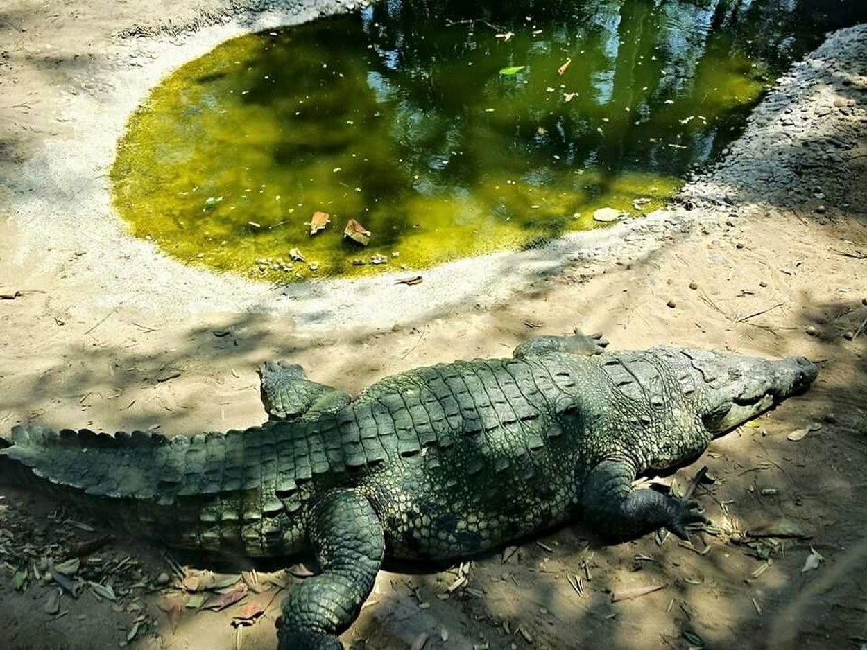 OK... Get back!! Cocodrilo Wildlife Nature Animal Photography