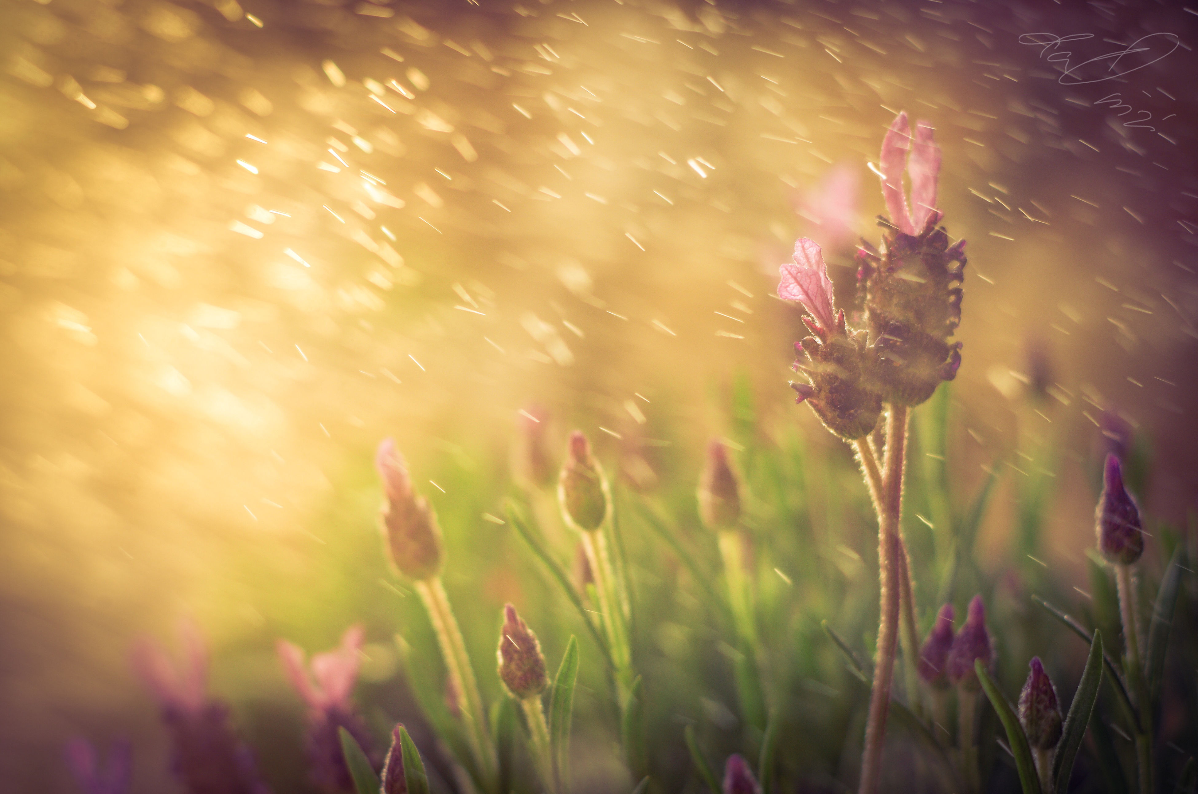 flower, freshness, growth, fragility, beauty in nature, plant, petal, flower head, close-up, nature, pink color, blooming, focus on foreground, selective focus, outdoors, in bloom, day, stem, sunlight, single flower