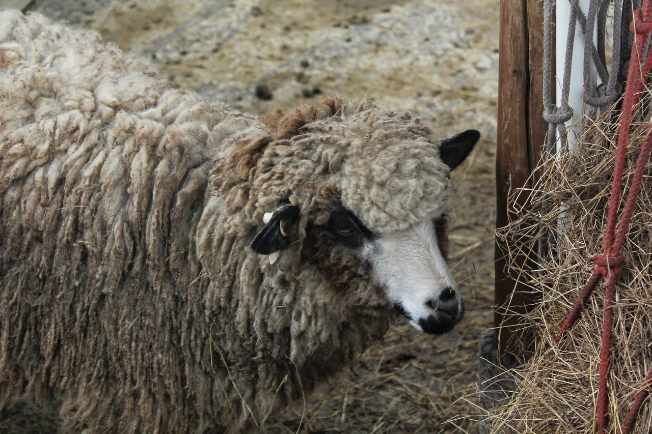 Animal Themes Livestock Domestic Animals One Animal No People Mammal Nature Day Outdoors Close-up Sheep Sheep🐑 Sheeps Sheep Farm Sheep Ranch Sheepfarm