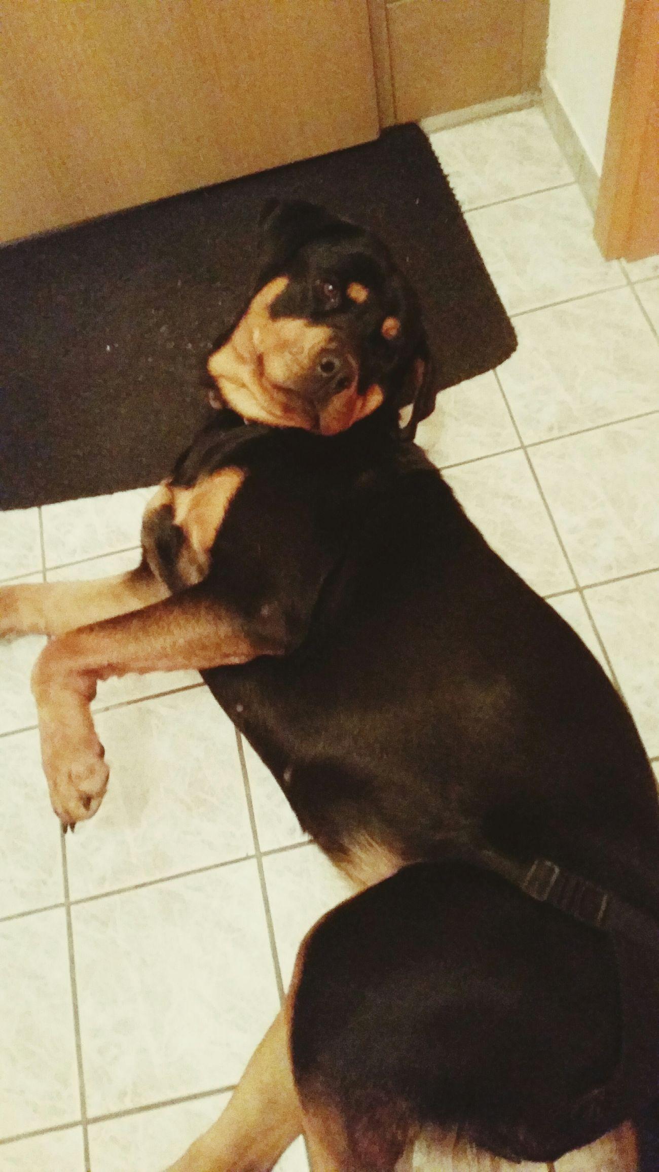 Layla Soadorable Sweetestdog Rottweiler Unschuldinperson 💓💓