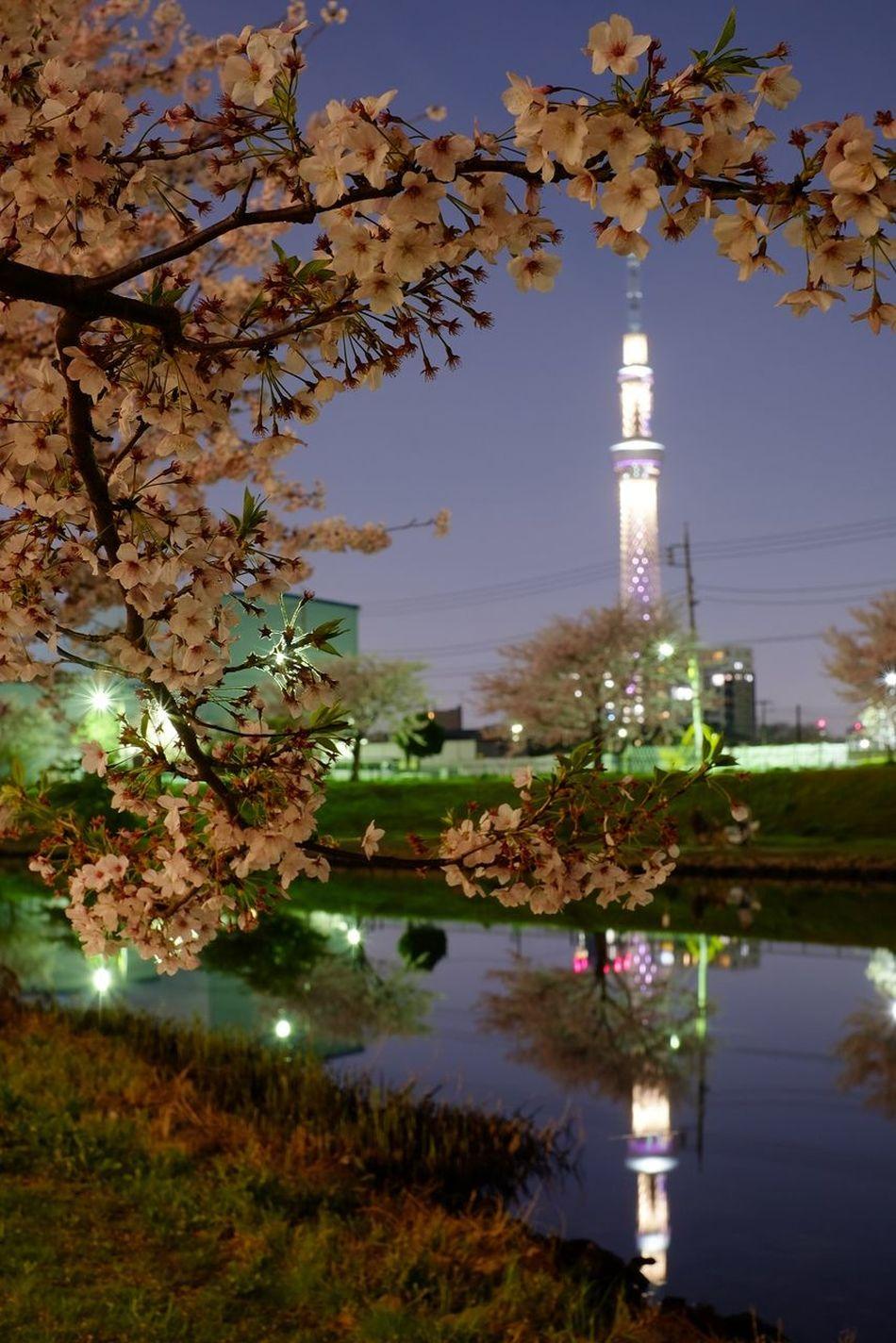 Sakura Tokyoskytree Tokyo,Japan 夜桜 ソメイヨシノ 桜 Fujifilm X-E2 東京スカイツリー
