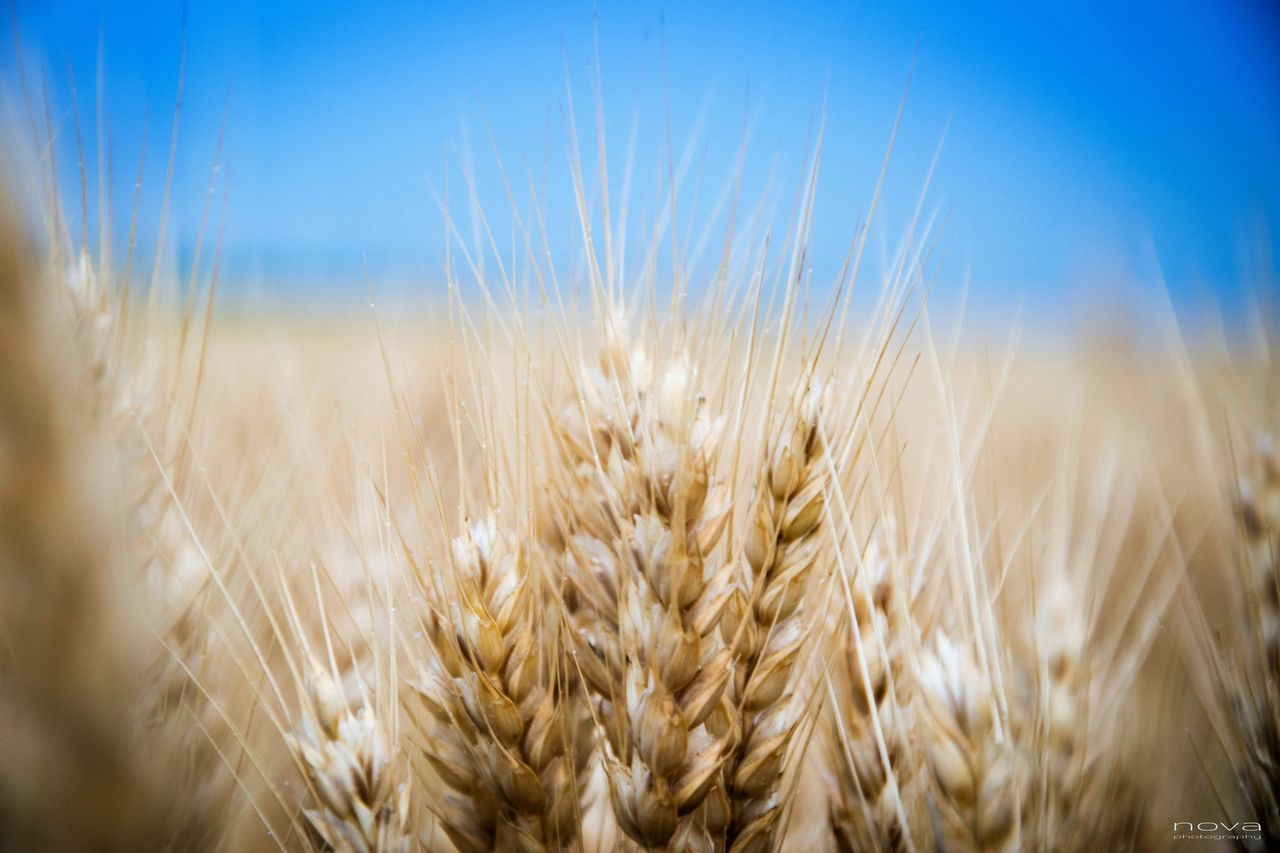 growth, agriculture, field, crop, nature, cereal plant, rural scene, farm, wheat, beauty in nature, tranquility, close-up, plant, no people, outdoors, ear of wheat, sky, scenics, day, clear sky, rye - grain, freshness