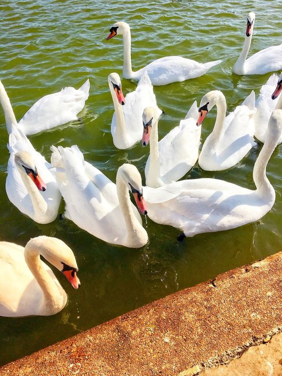 Happy swans (just been feeding them) .... Swan Lake Animals In The Wild Bird Animal Themes Water High Angle View Swimming White Color No People Togetherness Water Bird Animal Wildlife Day Nature Young Animal Outdoors