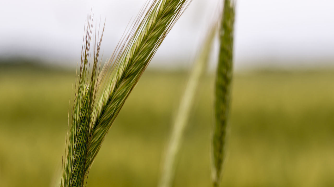 Agriculture Beauty In Nature Blade Of Grass Cereal Plant Close-up Crop  Farm Farm Life Farming Farmland Field Fieldscape Growth Landscape Nature Outdoors Plant Rural Scene Selective Focus Stalk Stem Straw Wheat Wheat Wheat Field