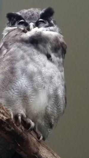 One Animal Close-up Beauty In Nature Bird Owl Zoo Antwerpen Birds