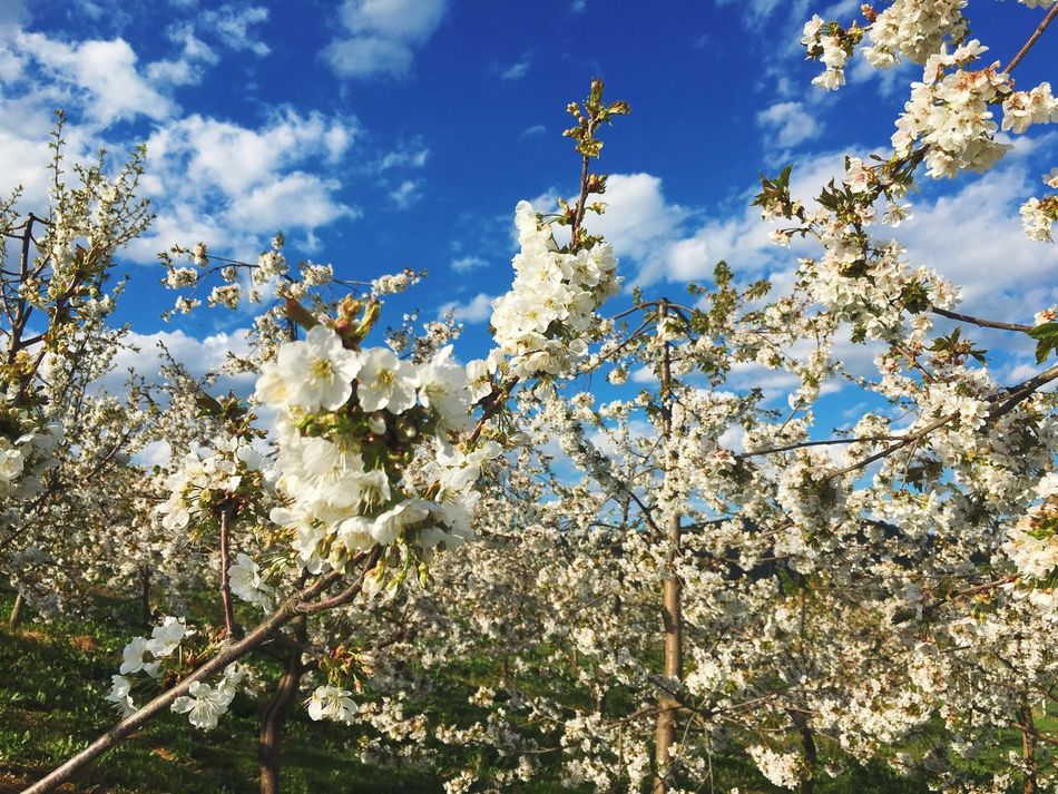 Cherry blossom paradise Growth Nature Beauty In Nature White Color Flower Sunlight Springtime Blossom Tree Sky Low Angle View No People Freshness Outdoors Fragility Branch Day Blooming Twig Close-up Cherry Cherry Blossoms