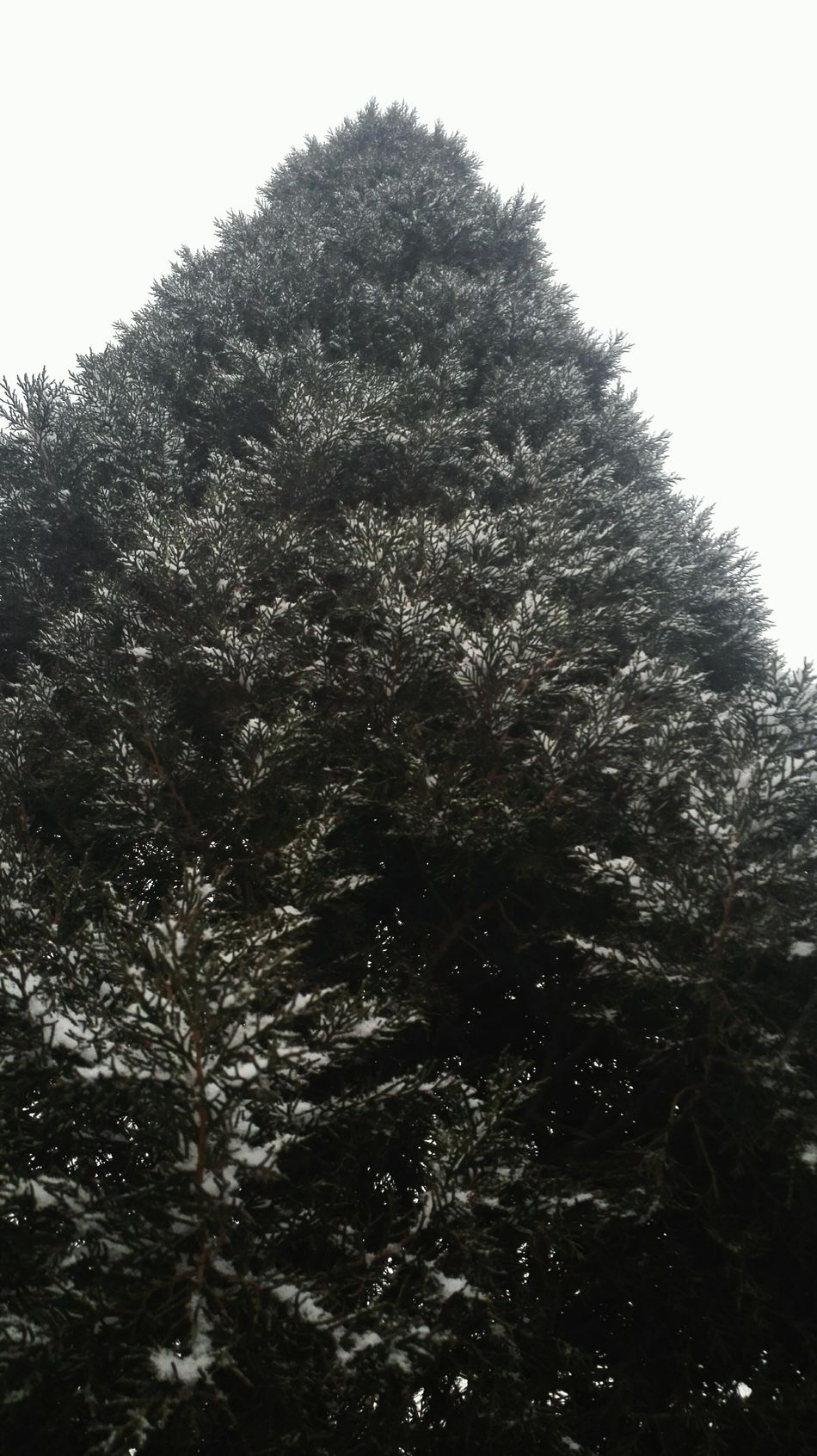 Pine Tree Snow ❄ Wintertime Mobliephotography Outdoors Cold Winter ❄⛄ Take Photos From My Point Of View First Snow ♥