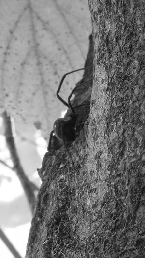 Relaxing Taking Photos Check This Out Enjoying Life Hanging Out Arachnid Living Bold Naturalstate Spiders Blackwidowspider Inatree Busty Lovely Warning Mother Nightmare That's Me Cellphone Photography Blackandwhite