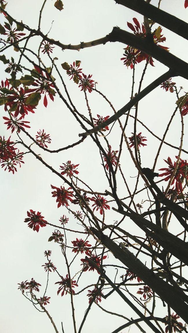 Poinsettias at the parents house.. Poinsettia Sky Flowers