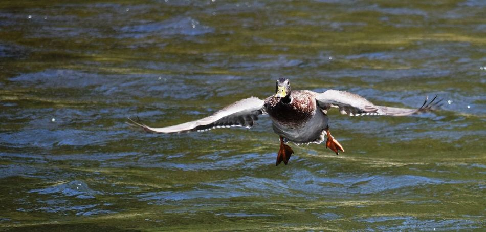 Duck Ducks Flight Taking Photos D5300 NIKON D5300 Nikonphotography Oregon City No People Fresh On Eyeem  Beauty In Nature Nikon Oregon Nature The Week Of Eyeem Clackamas Clackamette Park
