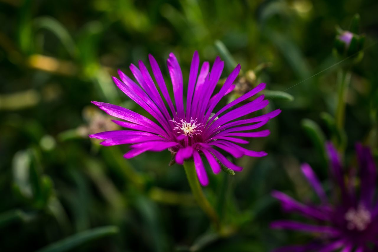 Flower Purple Fragility Pink Color Plant Nature Outdoors Day Petal Freshness Beauty In Nature Eastern Purple Coneflower No People Summer Coneflower Growth Flower Head Close-up Osteospermum Beauty