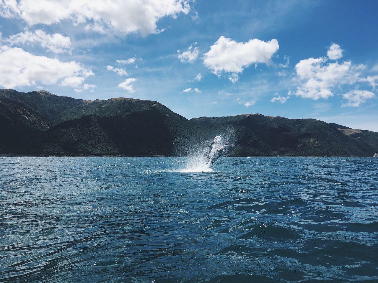Whale Splash Beauty In Nature Sea One Animal Swimming Aquatic Mammal Day Outdoors Kaikoura New Zealand