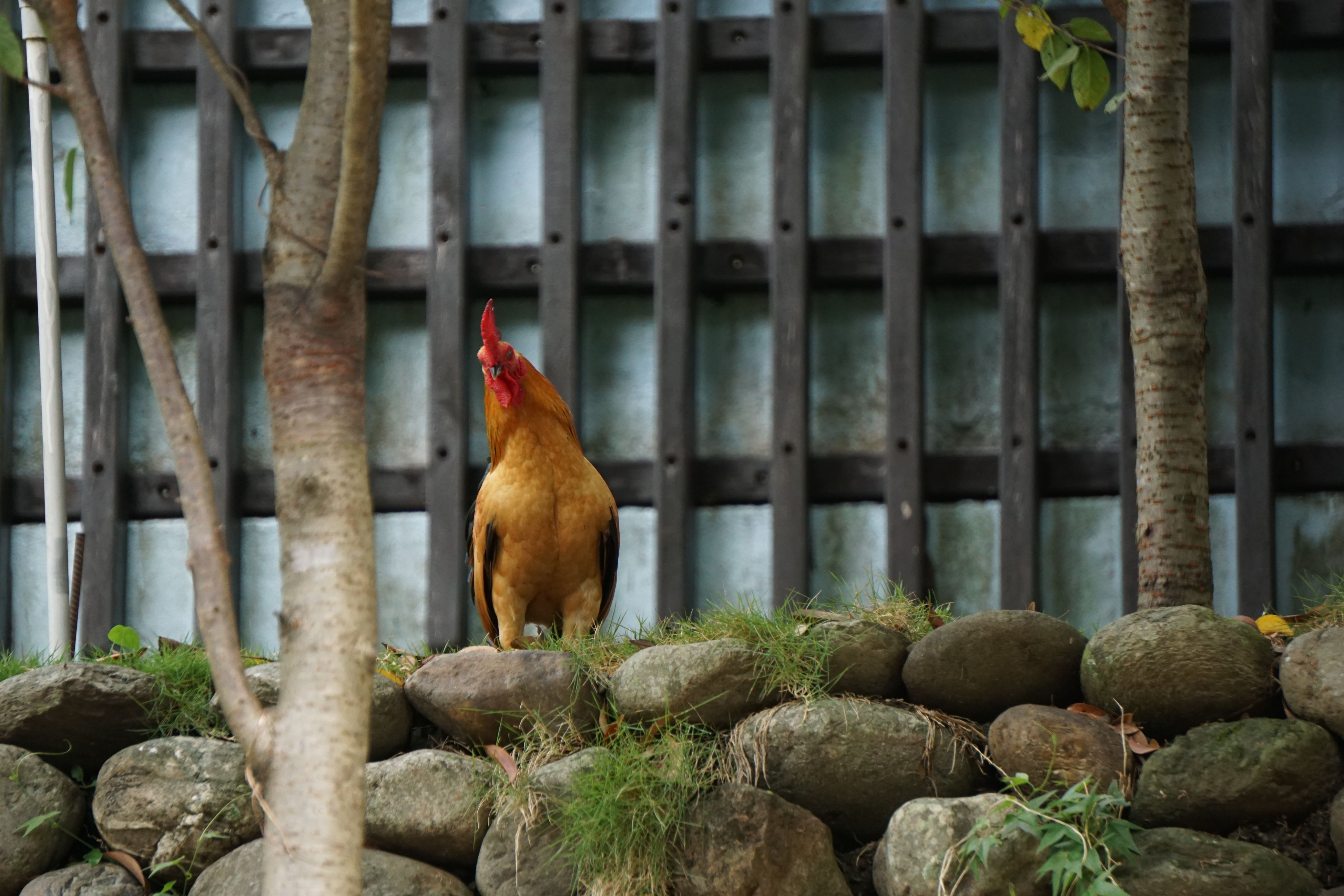 one animal, animal themes, full length, bird, hen, domestic animals, chicken - bird, zoology, brown, livestock, rooster, selective focus, male animal, perching, outdoors, cockerel, day, nature, animal behavior, focus on foreground, animal, no people