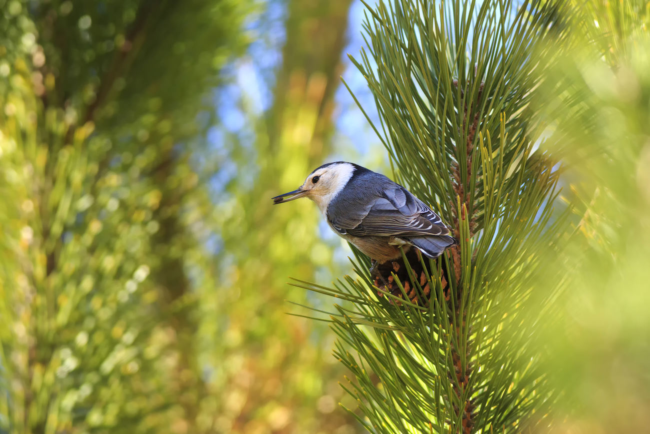 White Breasted Nuthatch Utah Nuthatch Birds Nature Beautiful Birds Canon Canon 5d Mark Lll I Hope My Pictures Touch Your Hart Beautiful Nature Wildlife Animals Best Of EyeEm Birds Of EyeEm  Cute Animals Animals In The Wild Trees