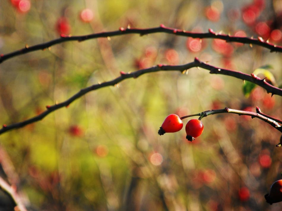 Couple Beauty In Nature Beauty In Nature Bokeh Close-up Fruit Fruits Nature Nature Nature Photography Outdoors Photography Plant Plant Plants Red Red Rose Hip Rose Hip Rose Hips