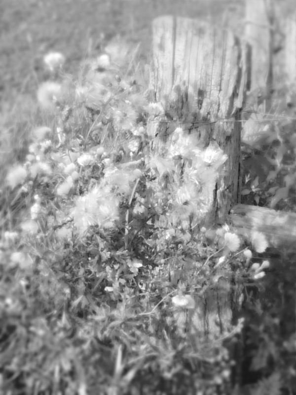 Black And White Photography Nature Photography Cottonwood Wooden Post