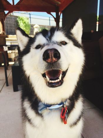 Animal Themes One Animal Domestic Animals Mammal Pets Mouth Open Dog Close-up No People Day Portrait Nature Outdoors
