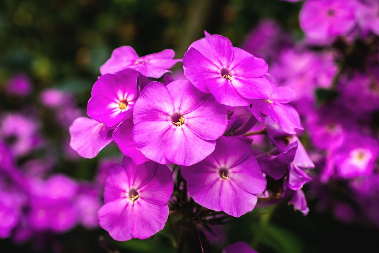 Flower Pink Color Plant Beauty In Nature Petal Flower Head No People Nature Close-up Fragility Outdoors Growth Day Freshness