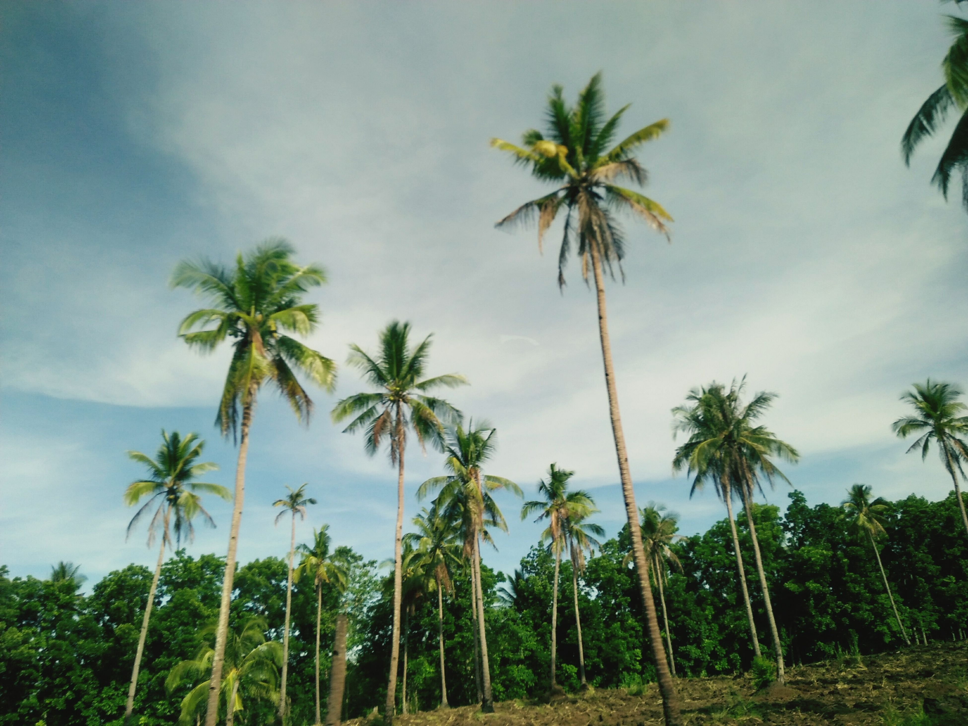 palm tree, tree, nature, sky, low angle view, tranquility, tree trunk, beauty in nature, no people, scenics, growth, day, outdoors