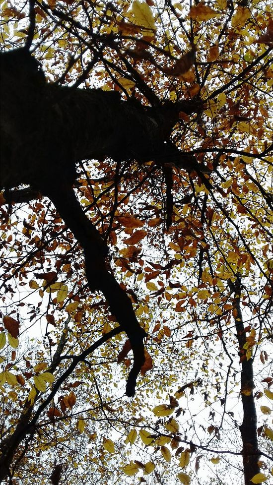 Tree Nature Branch Low Angle View No People Beauty In Nature Outdoors Low Angle View Lowangleview Tree Atumn Colors Atumn Is Here ... Fall Mood! Love Nature EyeEm Gallery The Great Outdoors - 2017 EyeEm Awards