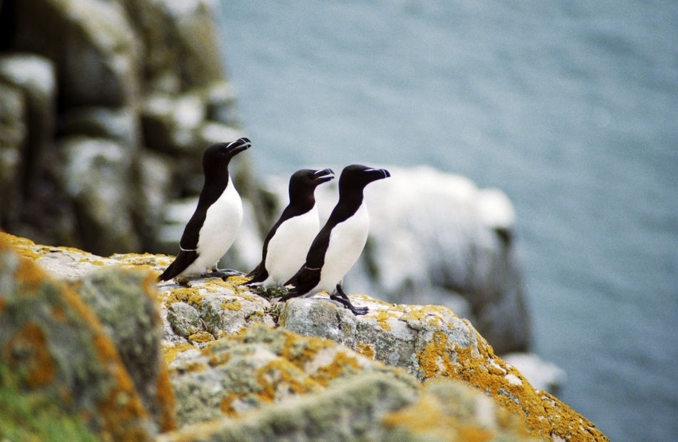 Beautiful stock photos of penguin, Animals In The Wild, Color Image, Day, No People