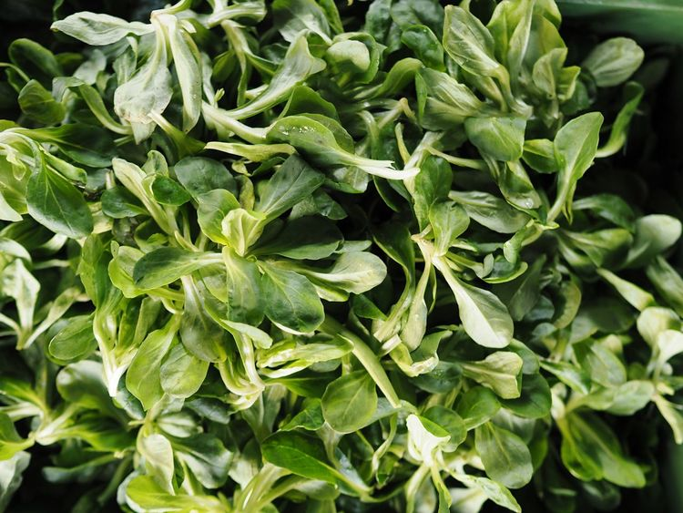 Corn Salad Salad Field Salad Feldsalat Healthy Winter Salad Green Full Frame Vegetables Freshness