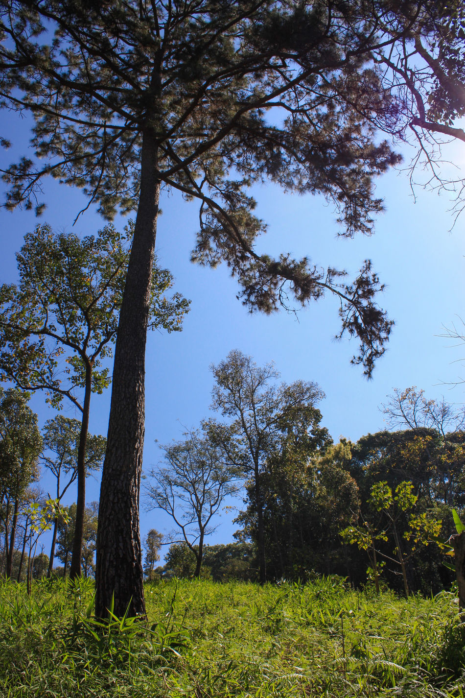 Blue Blue Sky Branch Camping Chaingmai Clear Sky Day Doi Luang Doi Luang, Chiang Dao Forest Fresh Hiking Low Angle View Mountains Outdoors Tall Tall - High Thailand Tree Trunk Trees Trekking