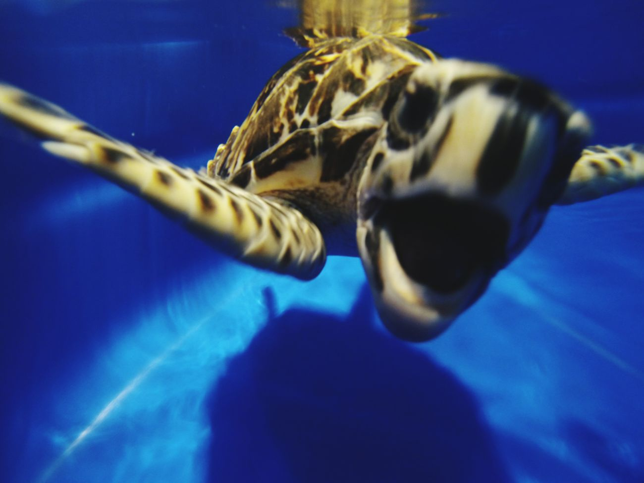 Sea turtle Hawksbill Turtle Rehabilitation Costa Rica Underwater