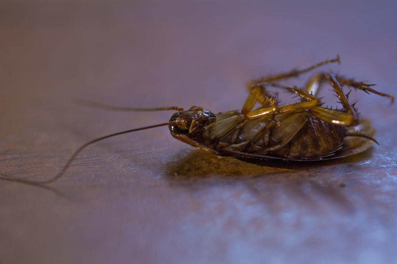 La cucaracha ya no puede caminar Crockroach Cucaracha Blattodea Barata Insecto Insect Insect Photography Macroshot Macrophotography Macro Photography Macro Dead Muerta Bug Bicho