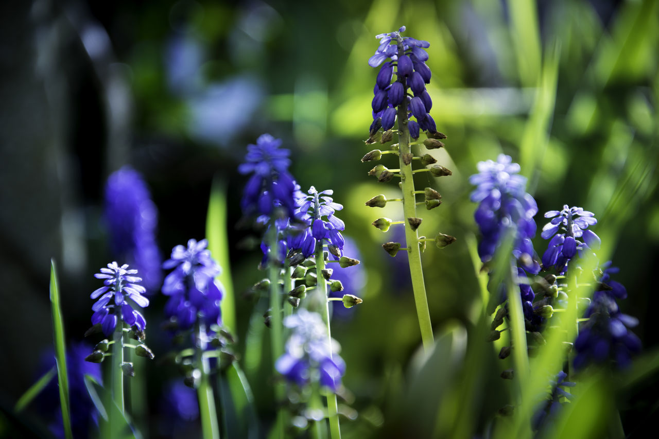 Beautiful Beauty In Nature Blue Close-up Colour Day EyeEm Best Shots Flower FreeTime Green Lavender Nature Nikon Nikonphotography No People Outdoors Plant Purple