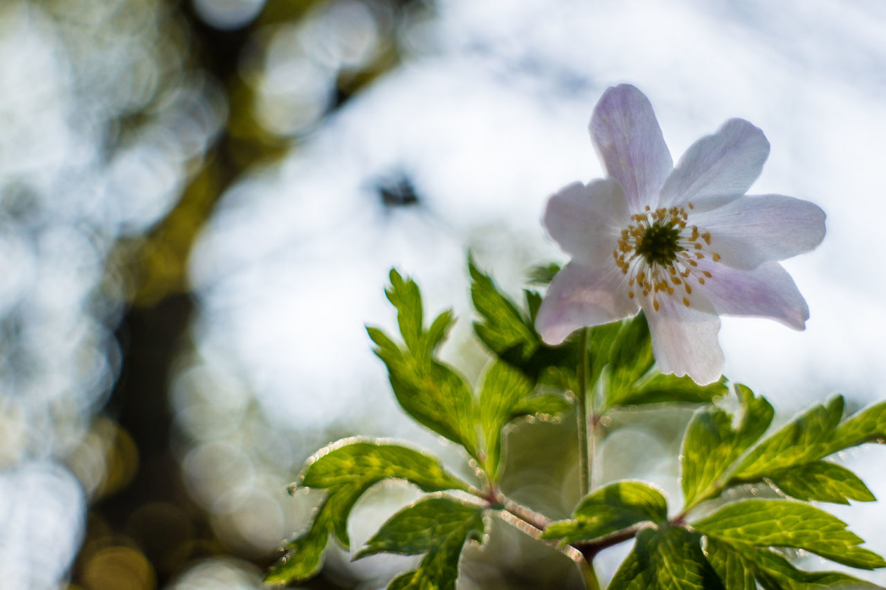 Beauty In Nature Blooming Close-up Day Flower Flower Head Focus On Foreground Fragility Freshness Growth Live For The Story Nature No People Outdoors Petal Plant The Great Outdoors - 2017 EyeEm Awards Tree White Color Wood Anemone