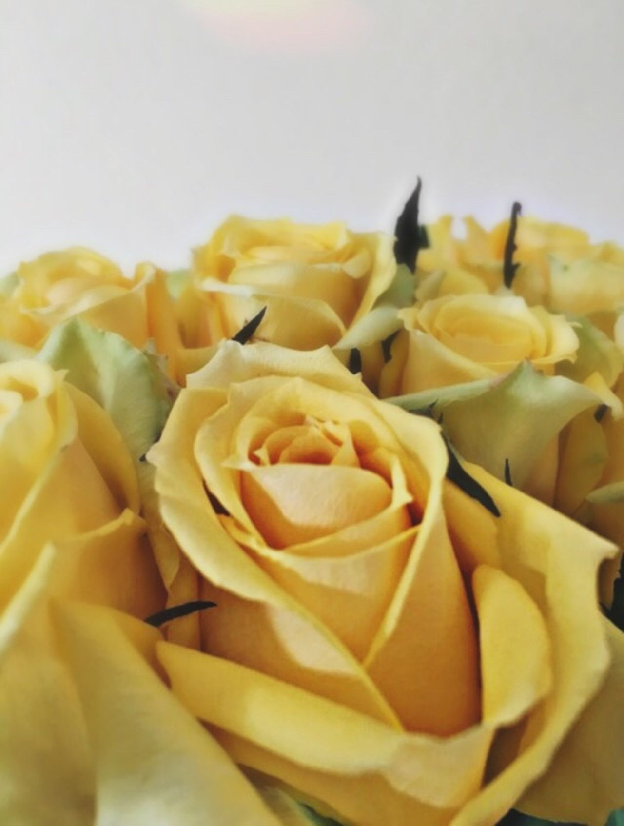Nature Flowers Yellow No People Flower White Background Beauty In Nature Light Yellow Flower Yellow Flowers Shadow Flower Bouquet  Flower Photography Flower Collection Yellow Rose Yellow Roses
