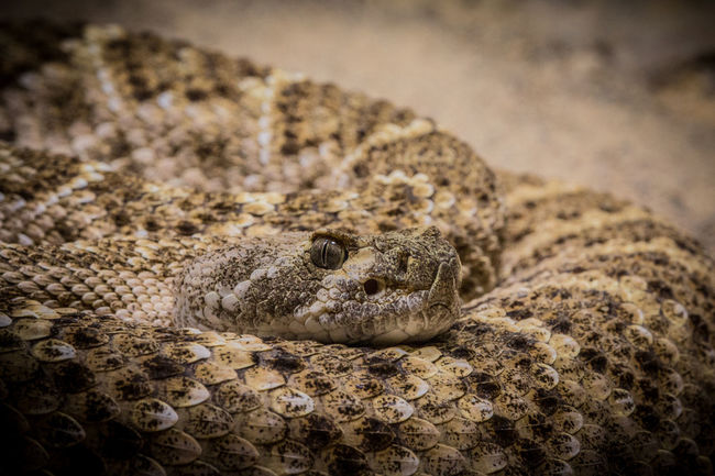 Animal Animal Body Part Animal Head  Animal Themes Canon Canon 70d Canonphotography Close-up Day Focus On Foreground Klapperschlange Mammal Nature No People Part Of Portrait Rattlesnake Reptile Resting Selective Focus Snake