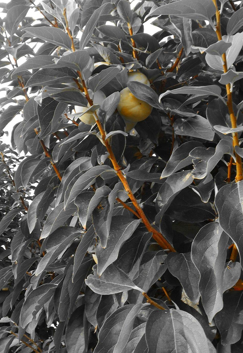 Melegialle Yellowapples Mele  Gialle Yellow Apples Amarillos Manzanas Cachi Autunno  Palline Alberi Giallo E Nero G/n Y/b Oroargento Goldsilver Leaf Foglie Foglie Leaves