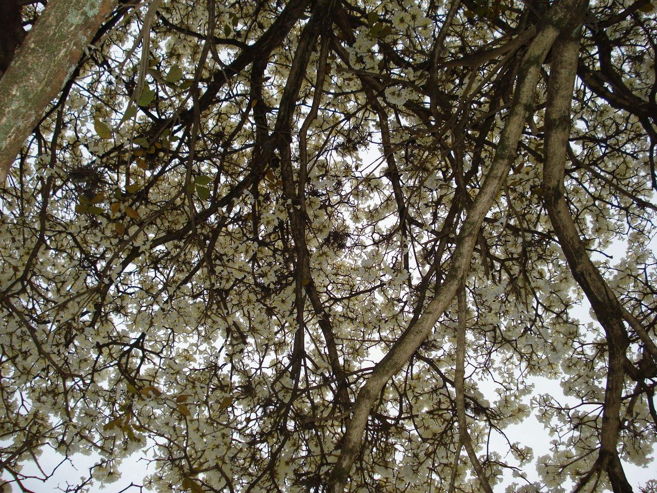 Bark Bignoniaceae Cerrado Ornamental Plant Tabebuia Roseoalba Beauty In Nature Biology Bloom Botanic Botany Branch Day Deciduous Ree Exuberant Flowering Flora Flower Growth Ipê Branco Nature No People Outdoors Tree Vegetation White Trumpet Tree