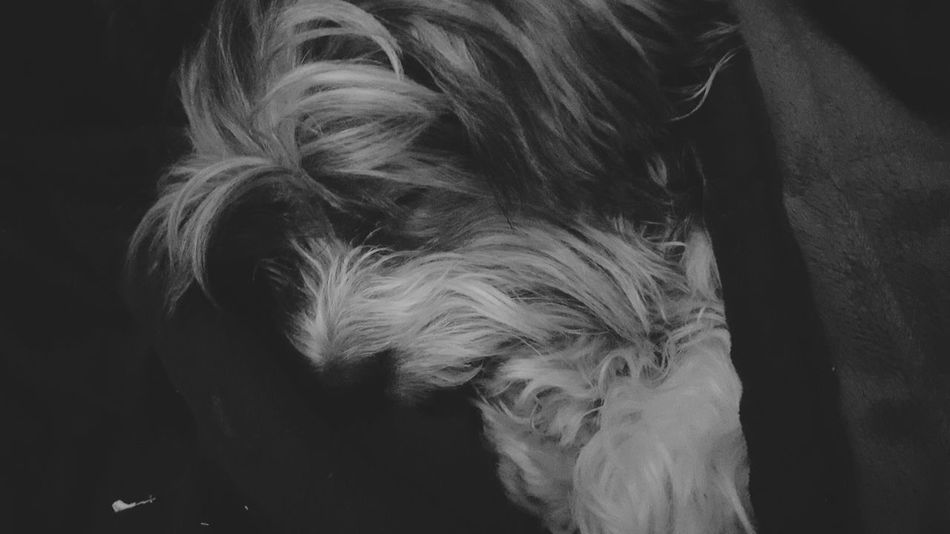 Dogsleeping Biewer Yorkshire Terrier Bieweryork Yorkie EyeEm Bnw Bnw_captures Showcase: February Samsung Galaxy S6 Mobilephotography Androidonly