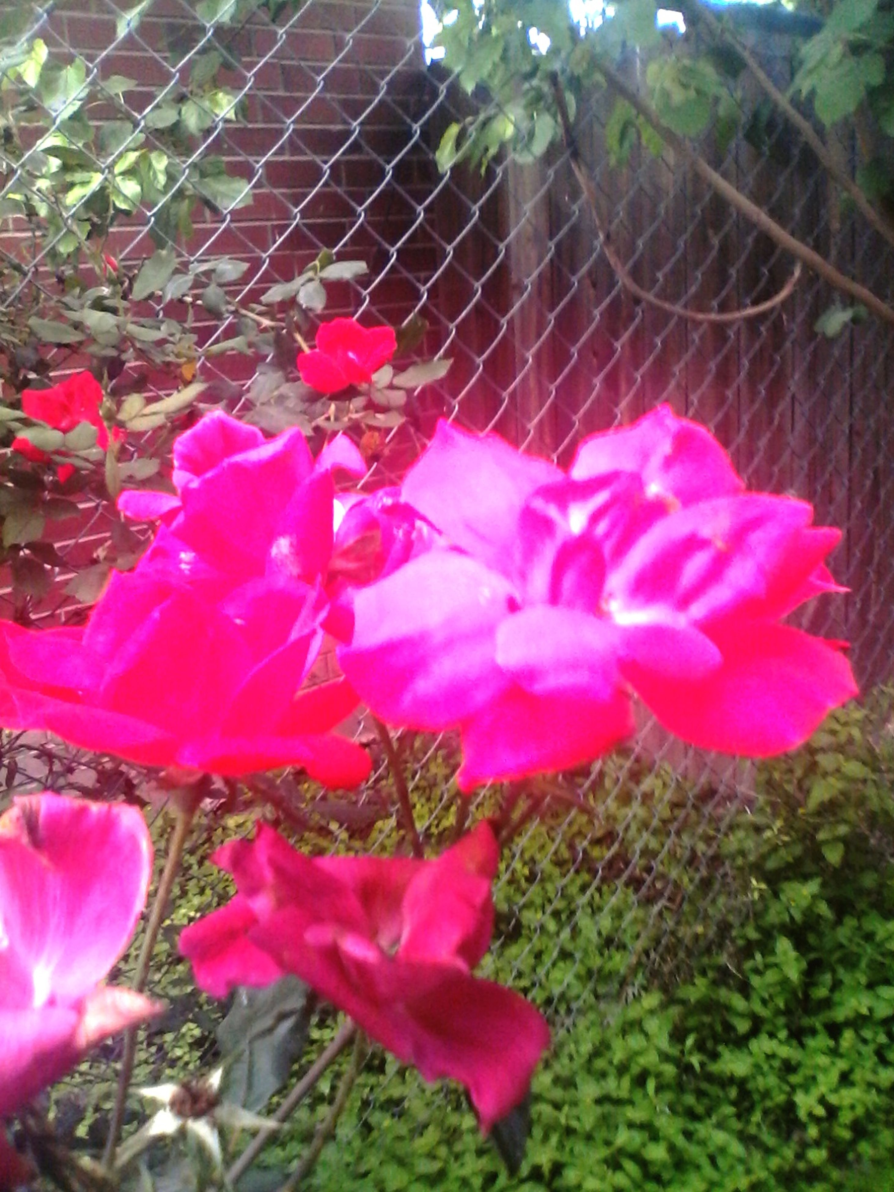 flower, pink color, freshness, fragility, petal, growth, beauty in nature, plant, flower head, nature, blooming, pink, close-up, in bloom, focus on foreground, leaf, red, outdoors, day, blossom