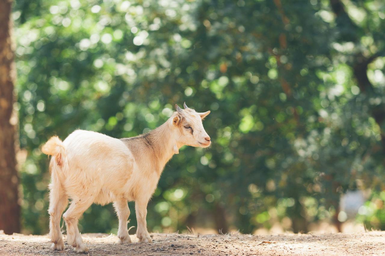 Animal Farm Goat