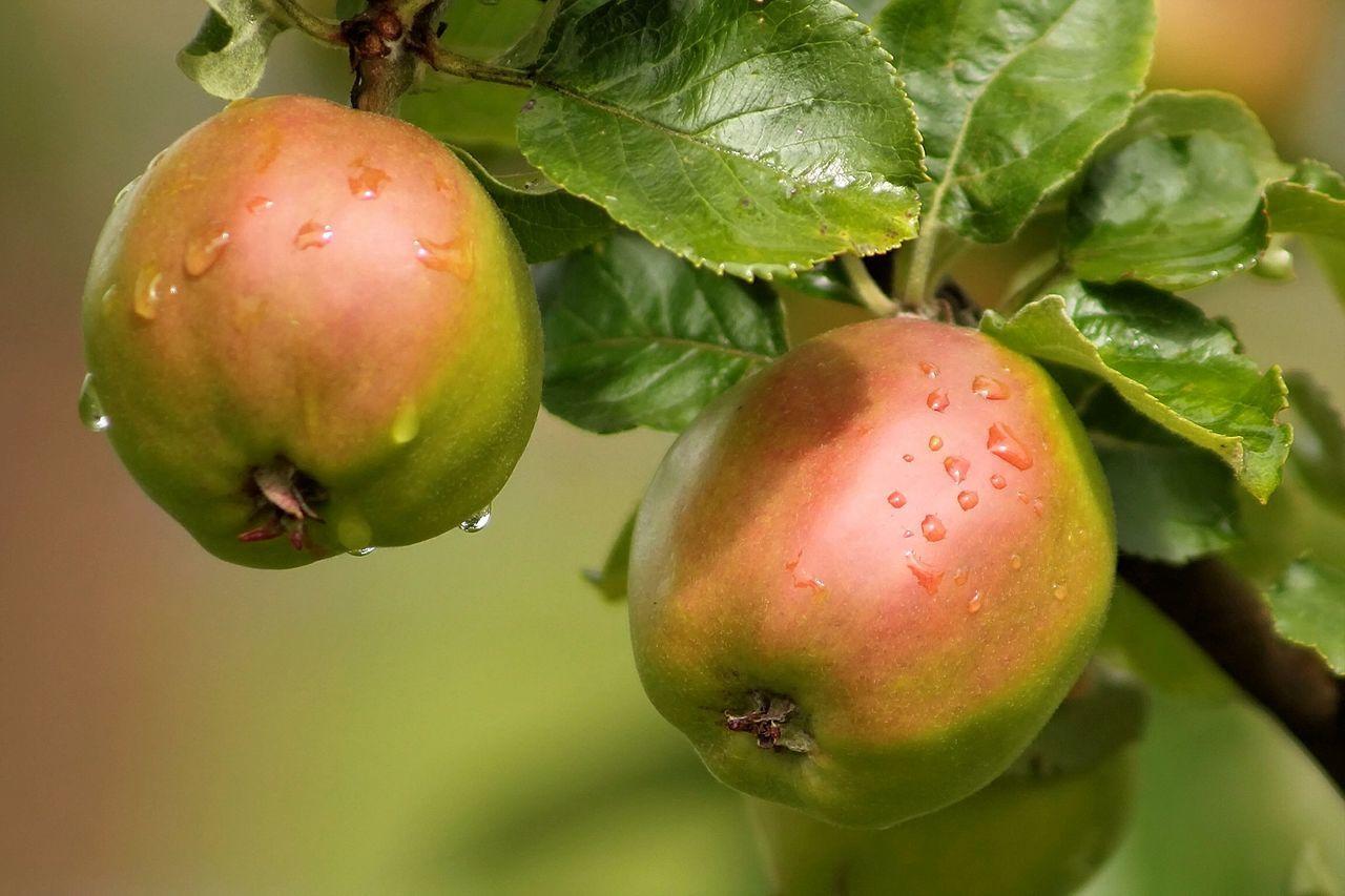 Beautiful stock photos of apple, Agriculture, Apple - Fruit, Apple Tree, Close-Up