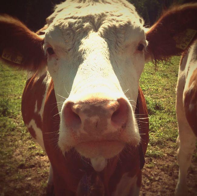 Harvest I See Cows. Walking Around Muuuu