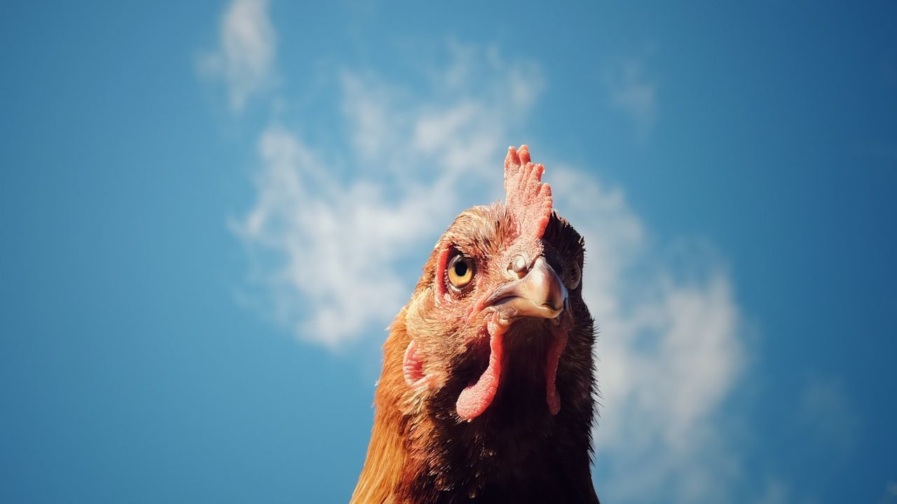 Beautiful stock photos of rooster, Focus, agriculture, alertness, anger