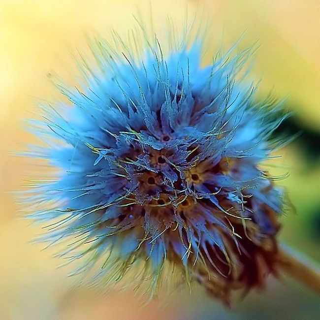 when I saw this, I said.. this is not Dandelion , but what is it ? anybody know ? 2) 9flower9 3) Tv_depthoffield 4) Tv_dof 5) Fotofanatics_flowers_ 6) Flowersandmacro 7) Macrophotography 8) Flowerphotography 9) Tgif_macro 0) Macroclique 1) Resourcemag 2) Macro_club 3) Macroworld_tr 4) Nature 5) Ig_shotz 6) Ig_superb 7) Best_photogram 8) Fstoppers 9) 1001macro 0) Bns_macro 1) Best_macro 2) Flair_macro 3) Ig_macro 4) Macro_mood 5) Macro_holic 6) macro_sultans 7) my_daily_macro 8) macro_secrets 9) colors_ofourlives 0) pocket_dof