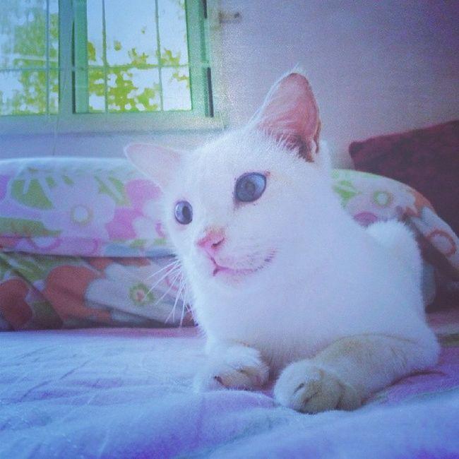 Si puteh sedang berjiwang.. SiPuteh Meow Cat Adorable
